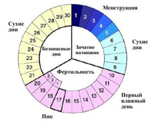 Сколько дней длится овуляция у женщин с циклом