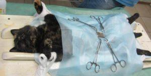 Через сколько дней можно стерилизовать кошку после родов