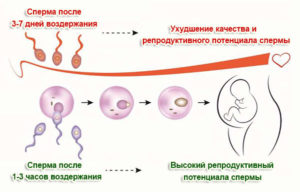 Сколько нужно воздерживаться перед зачатием