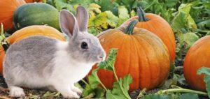 Можно тыкву давать кроликам