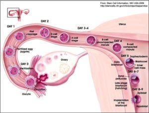 Через сколько дней после овуляции происходит имплантация эмбриона
