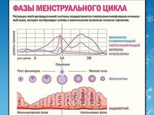 2 фаза менструального цикла