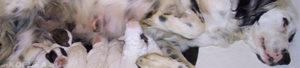 Собака перед родами признаки