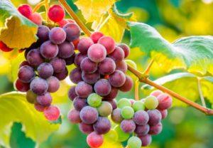 Можно виноград кормящим мамам