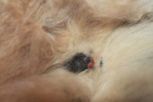 После родов у собаки выделения из петли