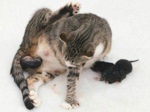 Предвестники родов у кошек