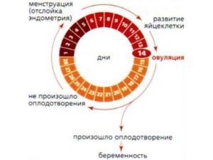 Овуляция сразу после месячных при регулярном цикле
