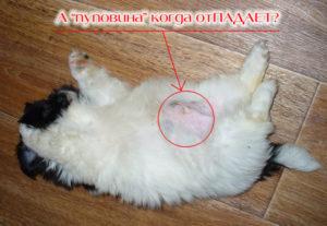 На какой день у котят отваливается пуповина