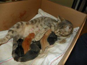 Через сколько времени кошка может забеременеть после родов