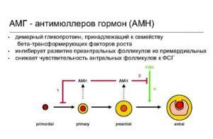 Сильно повышен антимюллеров гормон