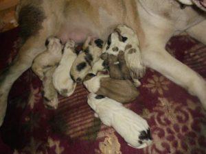 Какие должны быть выделения после родов у собаки
