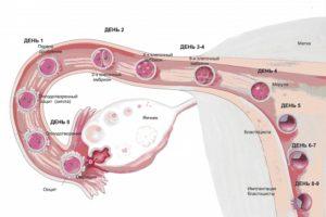 Имплантация плодного яйца на какой день после овуляции