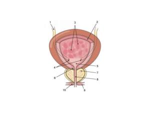 Болит мочевой пузырь после родов
