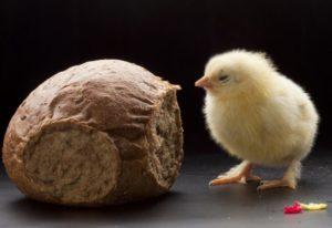 Можно ли бройлерам хлеб