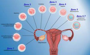 На какой день происходит имплантация эмбриона после овуляции