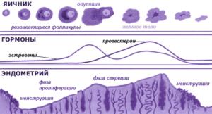 При овуляции толщина эндометрия