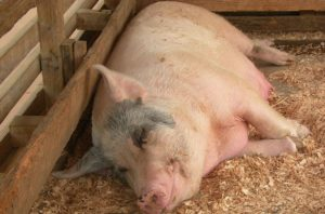 Сколько поросят рожает свинья