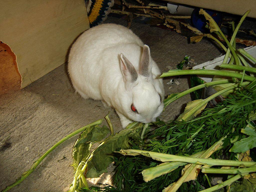 Сахарная свекла для кроликов - Наши лапки
