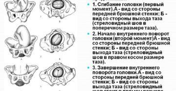 При переднем виде затылочного предлежания прорезывается головка